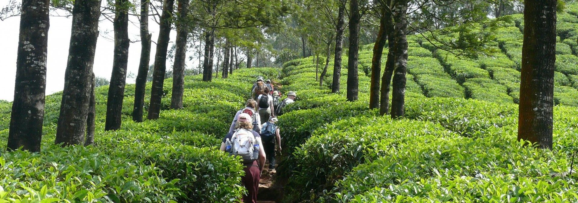 Following tree-lined tracks through tea plantations