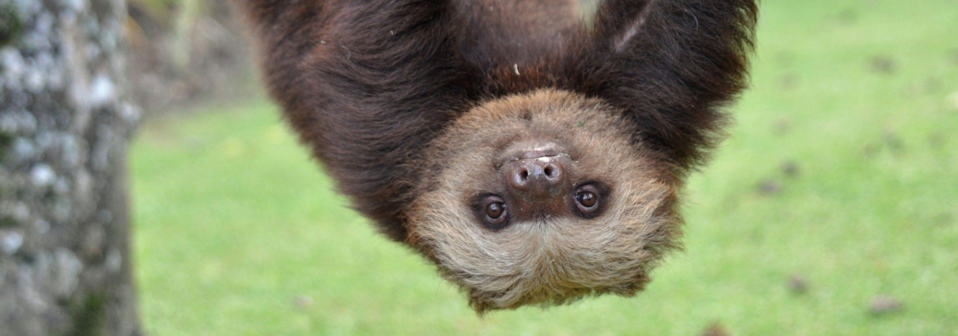 Sloth_hanging_from_tree_Costa_Rica.jpg