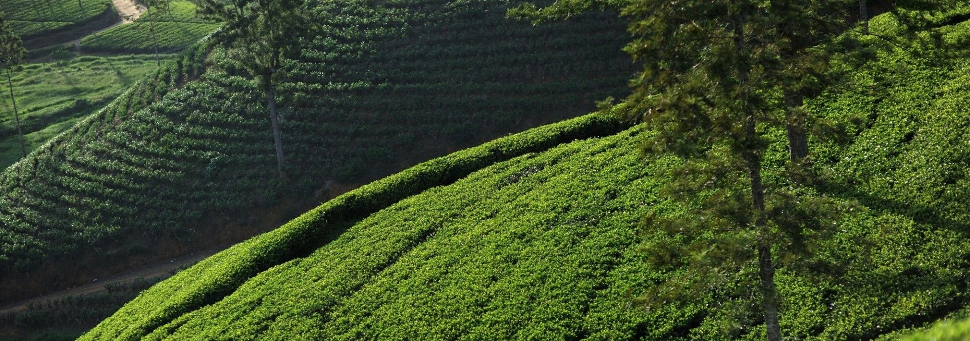Photogenic tea fields