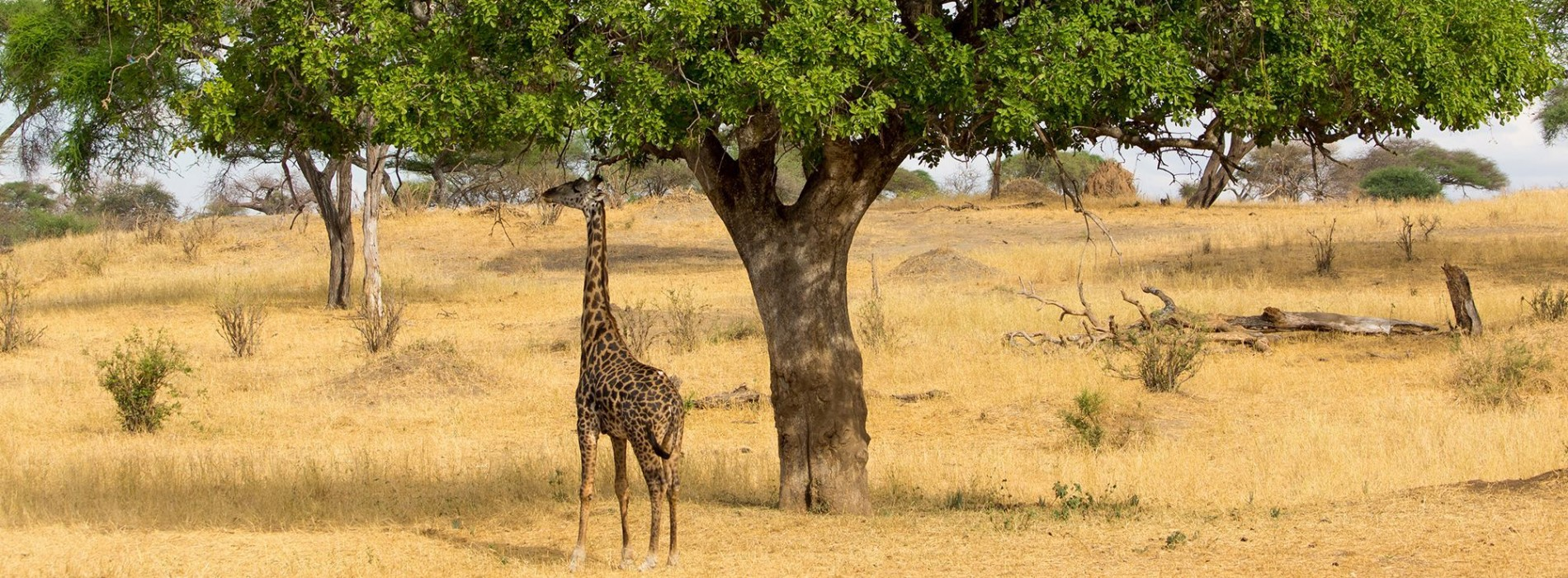 Giraffe taking shade from the African sun