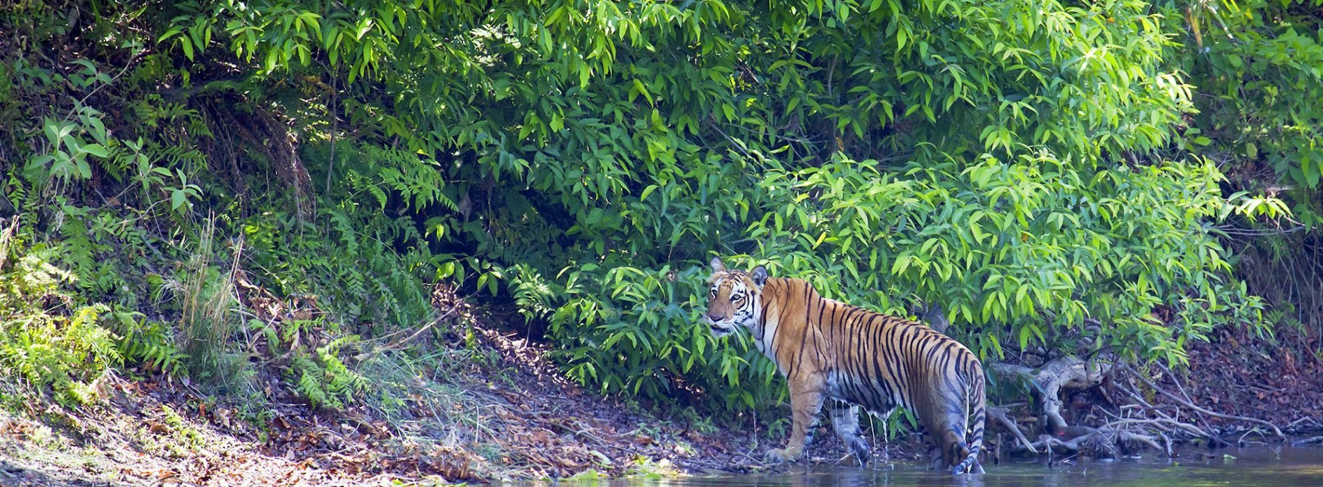 Tiger_in_Chitwan_National_Park.jpg