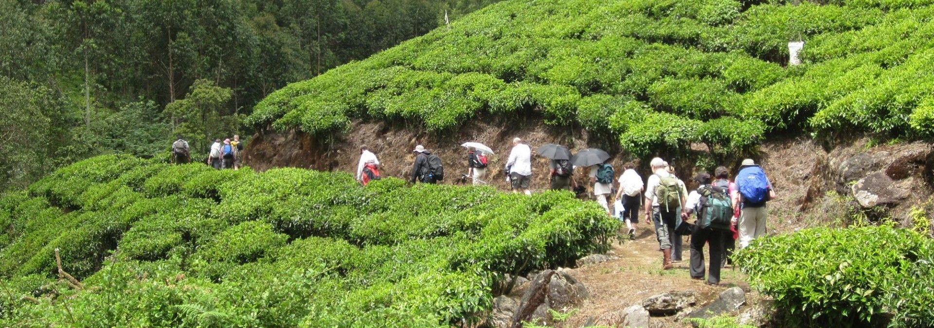Trekking through tea plantations